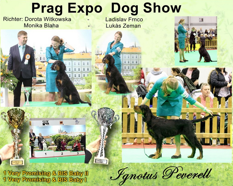 gordon-setter-zucht-foresters-of-darkmoor-prag-expo